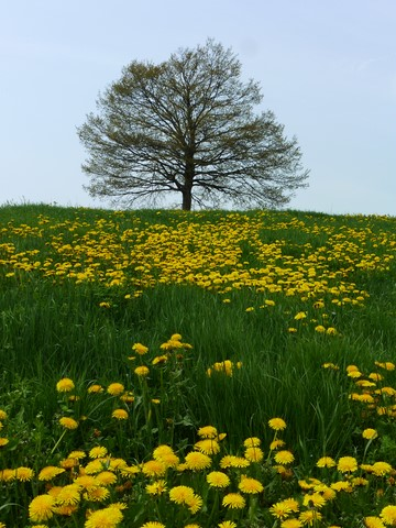 Dandelion field with  a single tree